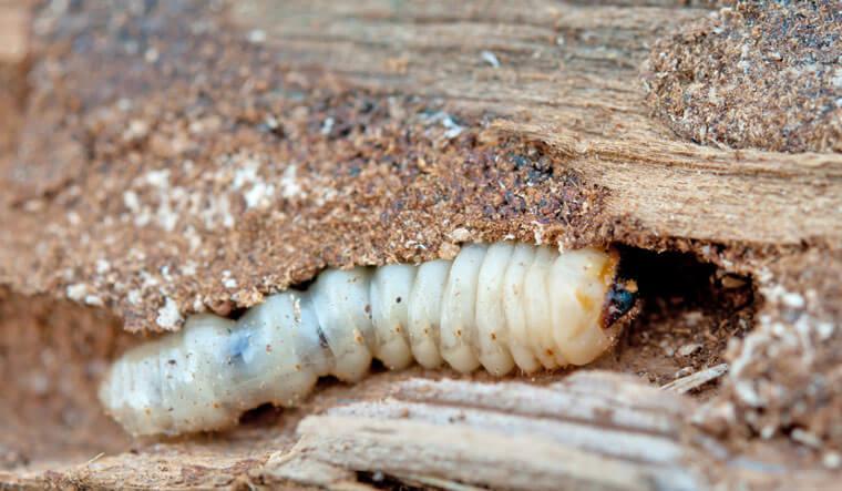 Schädling im Holz